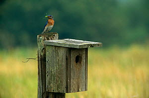 Eastern bluebird {Sialia sialis} bringing insect prey to chicks in nestbox, Wisconsin, USA - Larry Michael