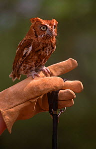 Eastern screech owl {Megascops asio} red phase, perched on hand, USA, captive  -  Larry Michael