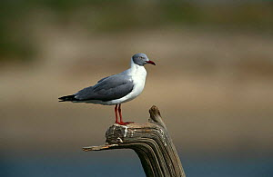 Grey headed gull {Chroicocephalus cirrocephalus} Gambia  -  Mike Wilkes