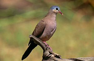 Emerald spotted wood dove {Turtur chalcospilos} Gambia  -  Mike Wilkes
