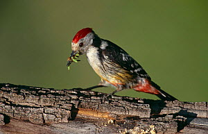 Middle spotted woodpecker {Dendrocopos medius} with caterpillar prey, Lesbos, Greece  -  Mike Wilkes