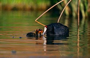 Red knobbed coot {Fulica cristata} feeding chicks, Johannesburg, South Africa - Richard Du Toit