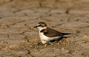 Kentish plover {Charadrius alexandrinus} female at nest with eggs,  Greece  -  Steve Knell