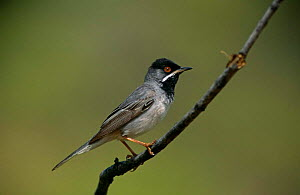 Ruppell's warbler {Sylvia ruepelli} male, Greece - STEVE KNELL