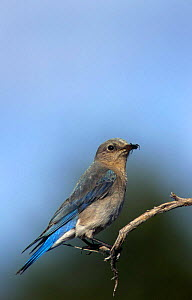 Mountain bluebird {Sialia currncoides} female, USA  -  Thomas Lazar
