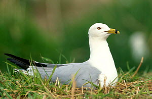 Ring-billed gull {Larus delawarensis} Lake Michigan, Wisconsin, USA - Thomas Lazar