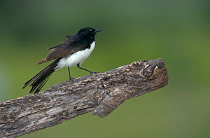 Black and white / Willie wagtail {Rhipidura leucophrys} territorial display, Queensland, Australia  -  WILLIAM OSBORN