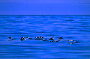 Southern right whale dolphins {Lissodelphis peronii} of coast of Peru  -  Pete Oxford