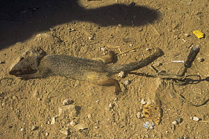 Indian grey mongoose {Herpestes edwardsi} used as tourist attraction for staged snake fights, Fatehpur sikri, Uttah Pradesh, India  -  Pete Oxford