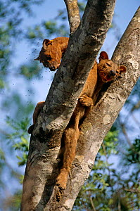 Fossa {Cryptoprocta ferox} pair mating in tree, western dry forest, Madagascar  -  Pete Oxford