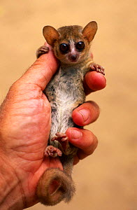 Russet mouse lemur {Microcebus rufus} held in hand to show small size, Kirindy, madagascar  -  Pete Oxford