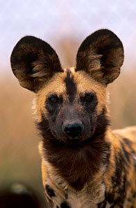 African wild dog {Lycaon pictus} portrait, South Africa - Pete Oxford