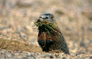 Yellow bellied marmot {Marmota flaviventris} collecting nest material, Yellowstone NP, Wyoming, USA  -  Bernard Castelein