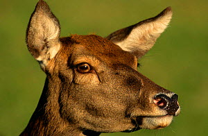 Red deer {Cervus elaphus} female portrait, Captive, Germany  -  Christoph Becker