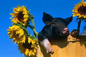 Domestic piglet in bucket with Sunflowers {Sus scrofa domestica} USA - Lynn M Stone