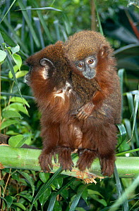 Dusky titi monkey {Callicebus moloch} male carrying 4-month young on his back, captive, from South America  -  Miles Barton