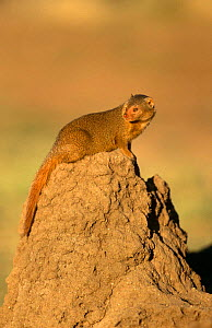Dwarf mongoose {Helogale parvula} on termite mound, Tanzania - Mike Wilkes