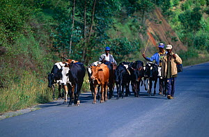 Herding Zebu cattle {Bos indicus} along road, Madagascar  -  Hermann Brehm