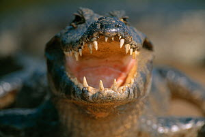 RF- Yacaré caiman (Caiman yacare) close up of open mouth. Pantanal, Brazil. - Staffan Widstrand