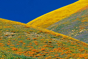 Hillside covered with wild Coreopsis and Californian poppies, California, USA - Shattil & Rozinski