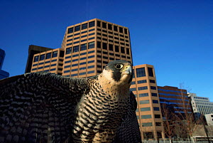 Peregrine falcon {Falco peregrinus} against skyline of Denver city, Colorado, USA - Shattil & Rozinski
