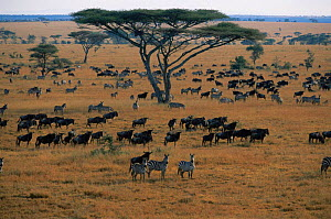 Wildebeest herd on migration {Connochaetes taurinus} with Common zebra {Equus quagga} Serengeti NP, Tanzania - Anup Shah