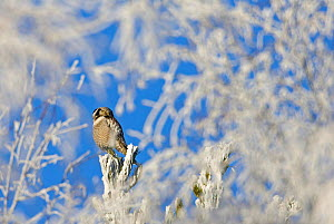 Hawk Owl perched in frost (Surnia ulula) Finland  -  Markus Varesvuo