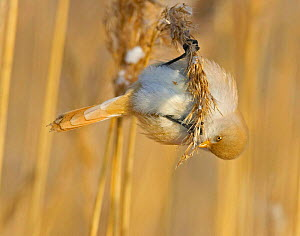 Bearded Tit (Panurus biarmicus) female amongst reeds collecting seeds, Finland - Markus Varesvuo