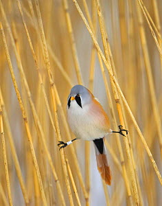 Bearded Tit (Panurus biarmicus) male amongst reeds with legs 'doing the splits', Finland. Ringed  -  Markus Varesvuo