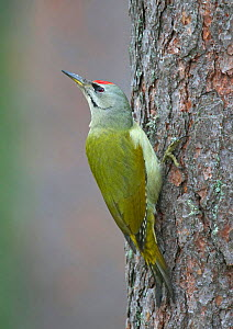 Grey-headed / Grey-faced woodpecker {Picus canus} looking round from tree trunk, Heinola, Finland.  -  Markus Varesvuo