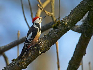 Middle Spotted Woodpecker {Dendrocopus medius}  on branch, Latvia.  -  Markus Varesvuo