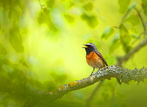 Redstart {Phoenicurus phoenicurus} male singing on branch, Estonia. - Markus Varesvuo