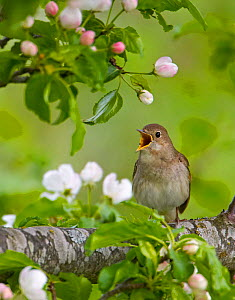 Thrush Nightingale singing (Luscinua luscinia) spring, Estonia - Markus Varesvuo