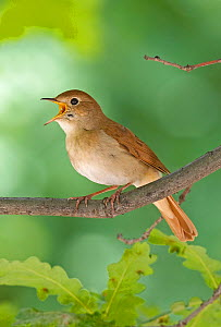 Nightingale {Luscinia / Erithacus megarhynchos} singing on branch, Hungary. Magic Moments book plate. Not available for ringtone/wallpaper use.  -  Markus Varesvuo