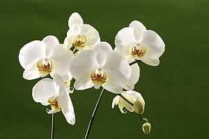 White hybrid orchid {Orchidaeceae} in flower, Europe. - Kim Taylor