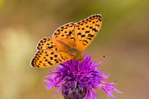 Dark Green Fritillary {Argynnis aglaja} male on Knapweed, Dorset, England.  -  Kim Taylor