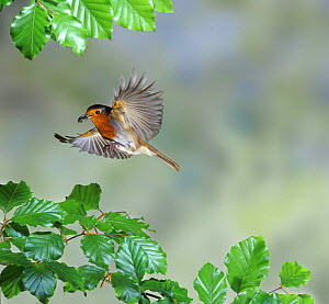 European Robin {Erithacus rubecula} in flight with food in beak, Surrey, England. - Kim Taylor