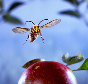 Male Hornet {Vespa crabro} flying to over ripe apple, Dorset, England.  -  Kim Taylor