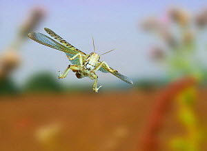 Desert Locust {Schistocerca gregaria} captive, in flight, digital capture.  -  Kim Taylor