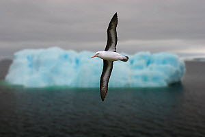 Black-browed albatross {Thalassarche / Diomedea melanophrys} in flight with iceberg in background, Southern Ocean. - Kim Taylor