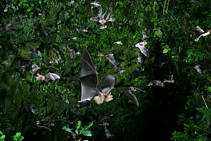 Insectivorous bats / Naked-backed moustached bat {Pteronotus davyi} emerging from the vertical shaft of a cave at dusk, Trinidad. Digitally enhanced.  -  Kim Taylor