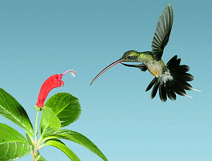 Green hermit {Phaethornis guy} approaching flower with curved corolla matching the bird's bill, Trinidad, West Indies, Digital composite.  -  Kim Taylor
