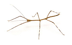 Stick insect {Phasmid sp.}  -  Kim Taylor