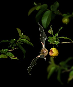 Short-tailed fruit bat {Carollia perspicillata} flying in to take a bite out of ripe Guava, Trinidad, West Indies, Digital composite.  -  Kim Taylor