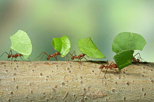 Bachacs / Leaf-cutting ants {Atta cephalotes} carrying leaf sections back to nest. Trinidad, West Indies also ocurrs in South America  -  Kim Taylor