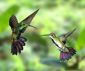 Black-throated Mango Hummingbird {Anthracothorax nigricollis} male and female in flight, Trinidad, West Indies.  -  Kim Taylor