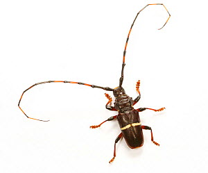 Longhorn beetle (Longicornia) captive, from Trinidad, West Indies - Kim Taylor