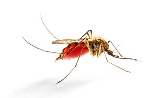 Mosquito (Aedes punctor) female resting after sucking blood from human arm. Sequence 4/4  -  Kim Taylor