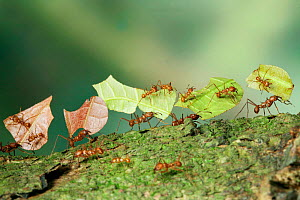 Bachacs / Leafcutter ants {Atta cephalotes} carrying sections of Cocoa leaf bearing 'riders' thought to ward off parasitic flies which would otherwise lay their eggs on the pieces of leaf. Trinidad, W...  -  Kim Taylor