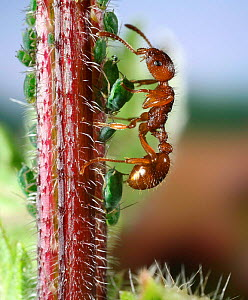 Red ant {Myrmica rubra} worker collecting honeydew from Nettle aphids {Microlophium carnosum} Surrey, England.  -  Kim Taylor